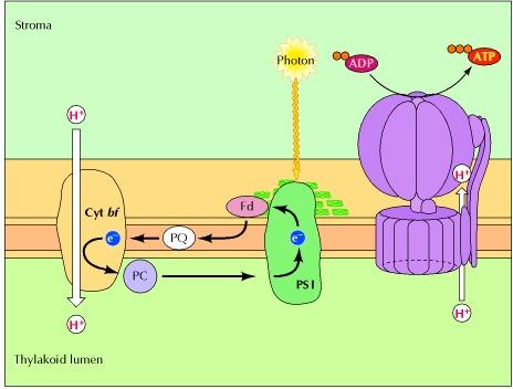 Cyclic electron transport photsynthesis