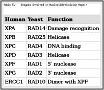 Table 5.1. Enzymes Involved in Nucleotide-Excision Repair.