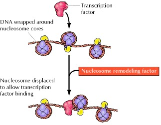 Figure 6.33. Nucleosome remodeling factors.