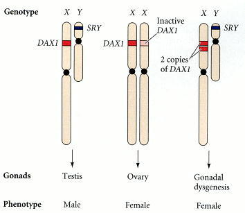 Figure 17.9. Phenotypic sex reversal in humans having two copies of the DAX1 locus.