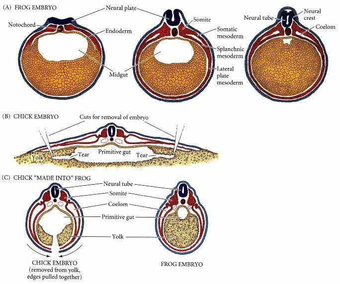 edi pentol amphibian embryology diagram