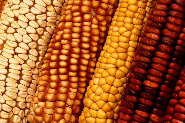 Maize diversity