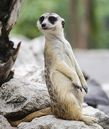 Meerkat standing and looking at something