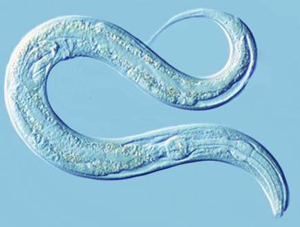 Le gène PTEN  WormPicture