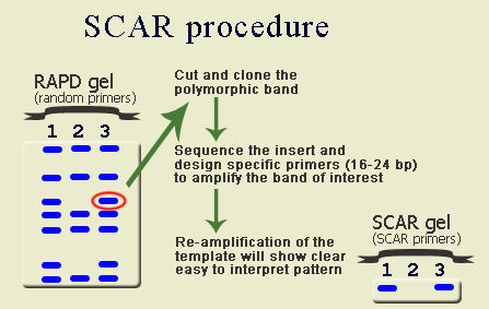 SCAR markers