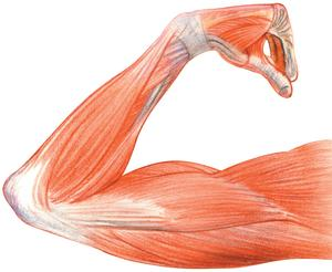 Sketch of arm muscles and ligaments.