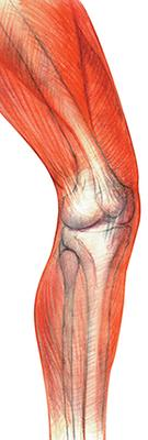 Sketch of leg bones and surrounding muscles.