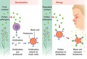 Diagram Showing How The Body Becomes Allergic To A Substance From Sensitization Through To Allergic