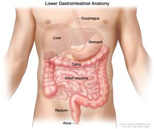 gastrointestinal tract - national library of medicine - pubmed health, Cephalic vein