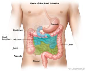 Drawing of the small intestine showing the duodenum, jejunum, and ileum. Also shown are the stomach, appendix, colon, and rectum.