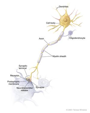 Diagram of a neuron (nerve cell)