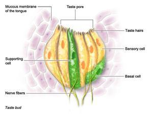Taste Pores - National Library of Medicine - PubMed Health