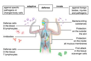 Immune system national library of medicine pubmed health diagram of the human bodys defense system ccuart Image collections