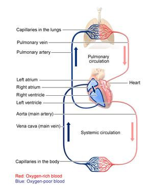 Pulmonary and systemic circulation of the blood