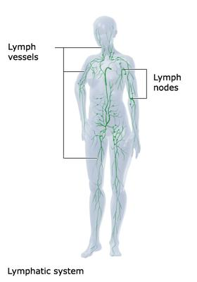 The lymphatic system showing lymph vessels and lymph nodes
