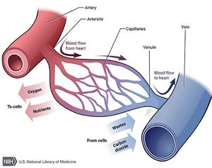 Diagram of the flow of blood through blood vessels