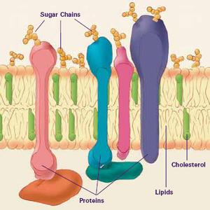 Image of parts of the cell membrane