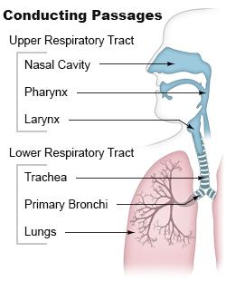 Lower respiratory tract national library of medicine pubmed health lower respiratory tract ccuart Image collections