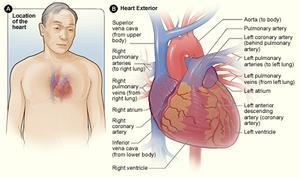 Illustration of the location of the heart in the body. Also shows the coronary arteries and major blood vessels.