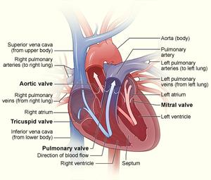 Illustration of a cross-section of a healthy human heart, including the heart valves.
