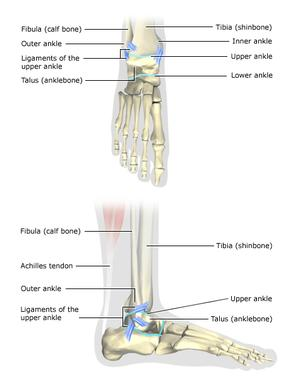 Images of the ankle bones and ligaments from the front and side