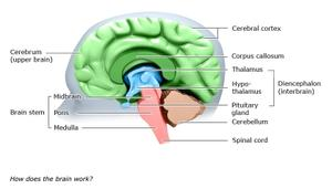 Graphic: Structure of the brain