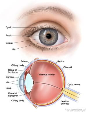 Anatomy of the eye; two-panel drawing showing the outside and inside of the eye. The top panel shows the outside of the eye, including the eyelid, pupil, sclera, and iris. The bottom panel shows the inside of the eye, including the ciliary body, canal of Schlemm, cornea, lens, vitreous humor, retina, choroid, optic nerve, and lamina cribrosa.