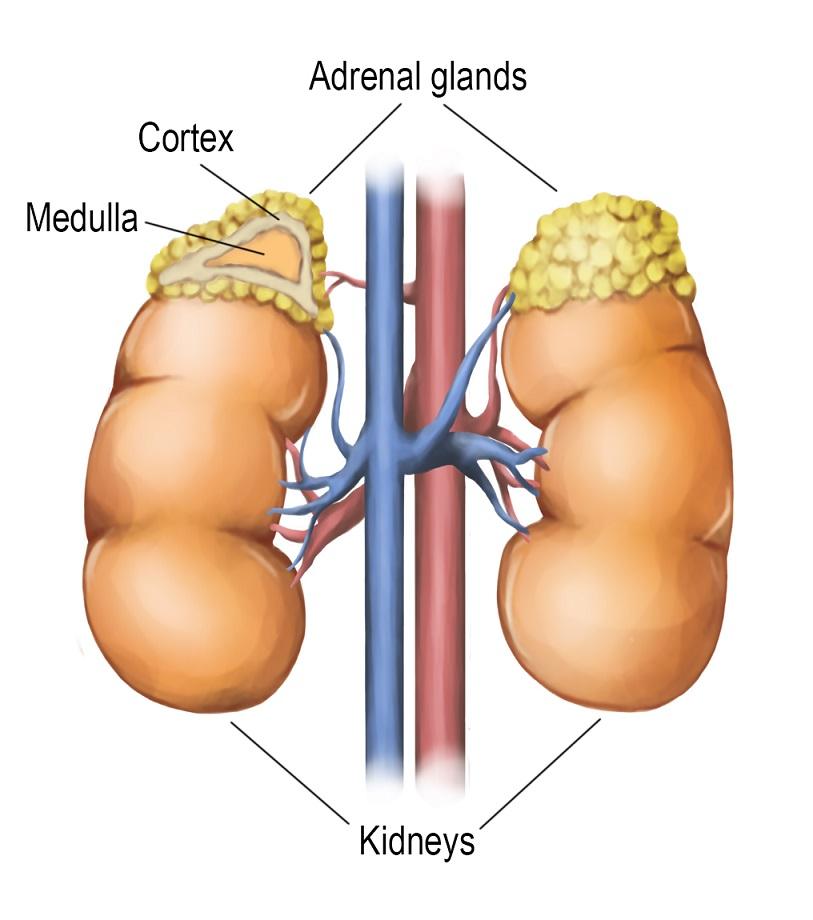 Adrenal Glands National Library Of Medicine Pubmed Health