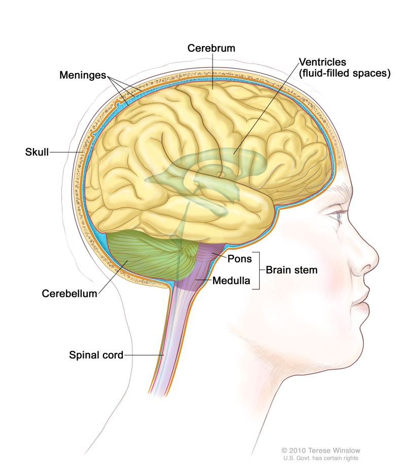 Corpus Callosum - National Library of Medicine - PubMed Health
