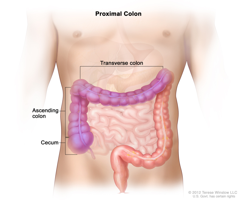proximal colon - national library of medicine - pubmed health, Human Body