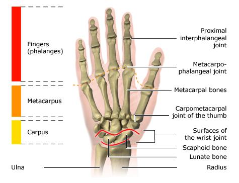 Pisiform Bone National Library Of Medicine Pubmed Health