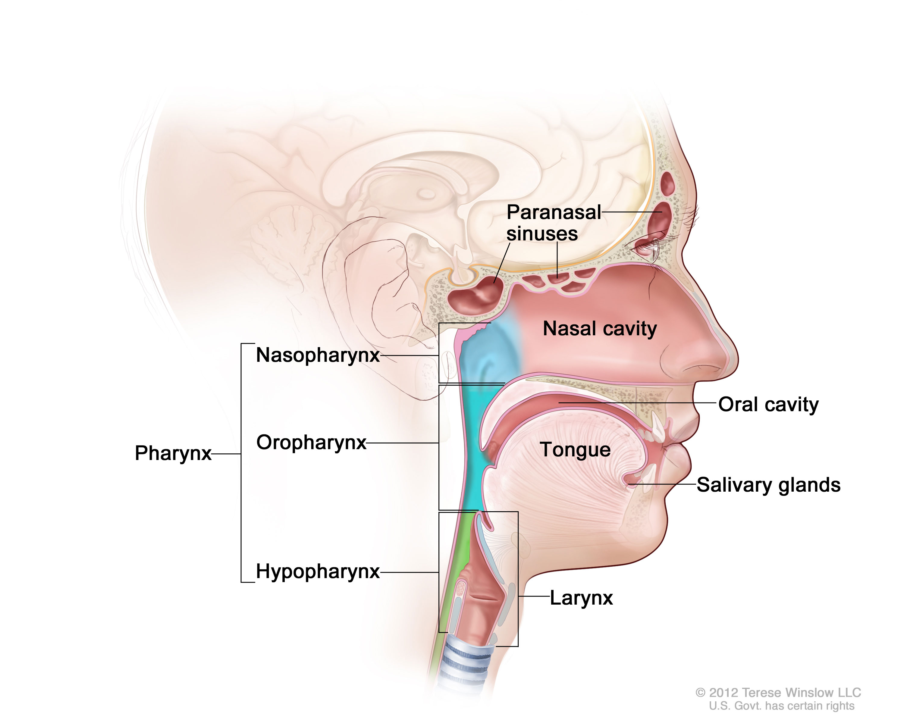 Pharynx National Library Of Medicine Pubmed Health