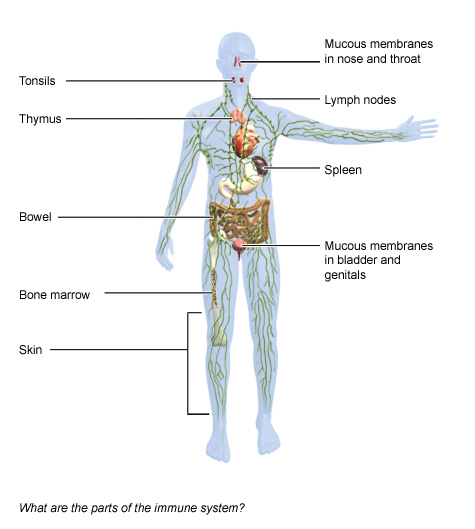 Immune System National Library Of Medicine Pubmed Health