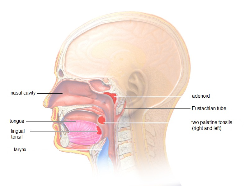 Swollen tonsils in adults