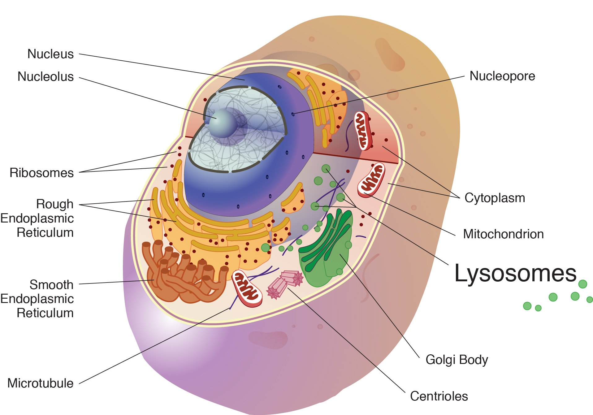 Lysosome national library of medicine pubmed health a lysosome is a membrane bound cell organelle that contains digestive enzymes lysosomes are ccuart Choice Image
