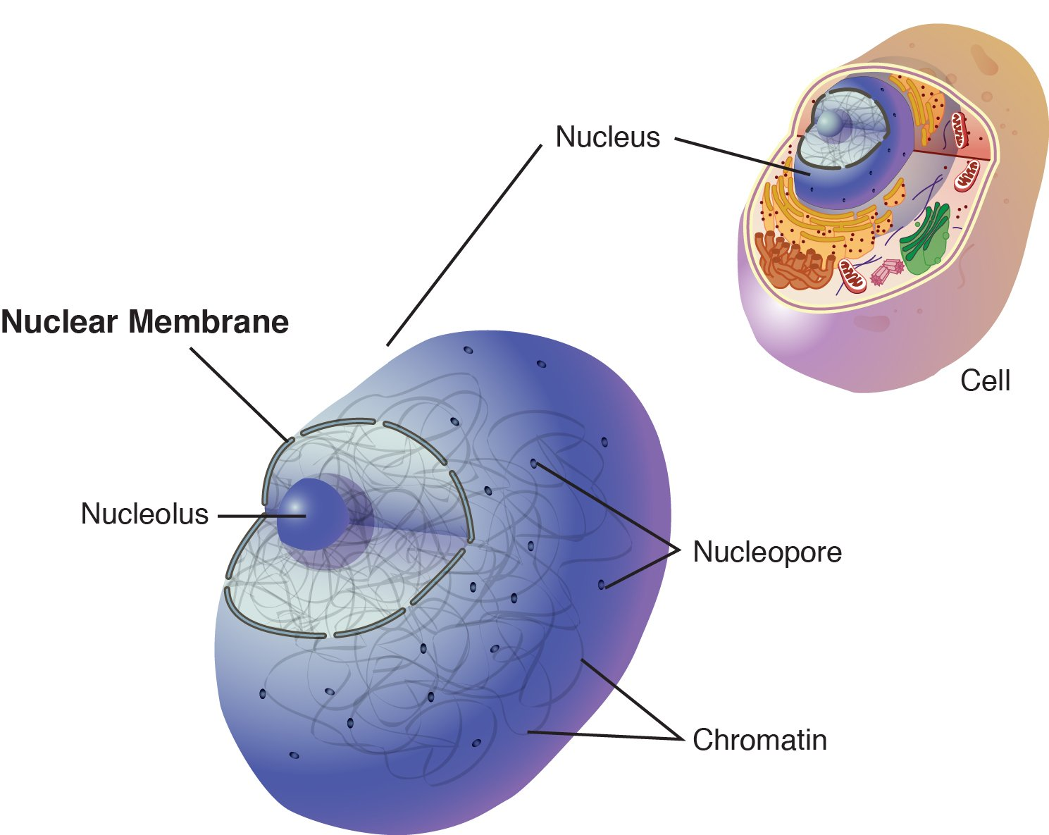 Nuclear membrane national library of medicine pubmed health the nuclear membrane is a double membrane that encloses the cell nucleus ccuart Images