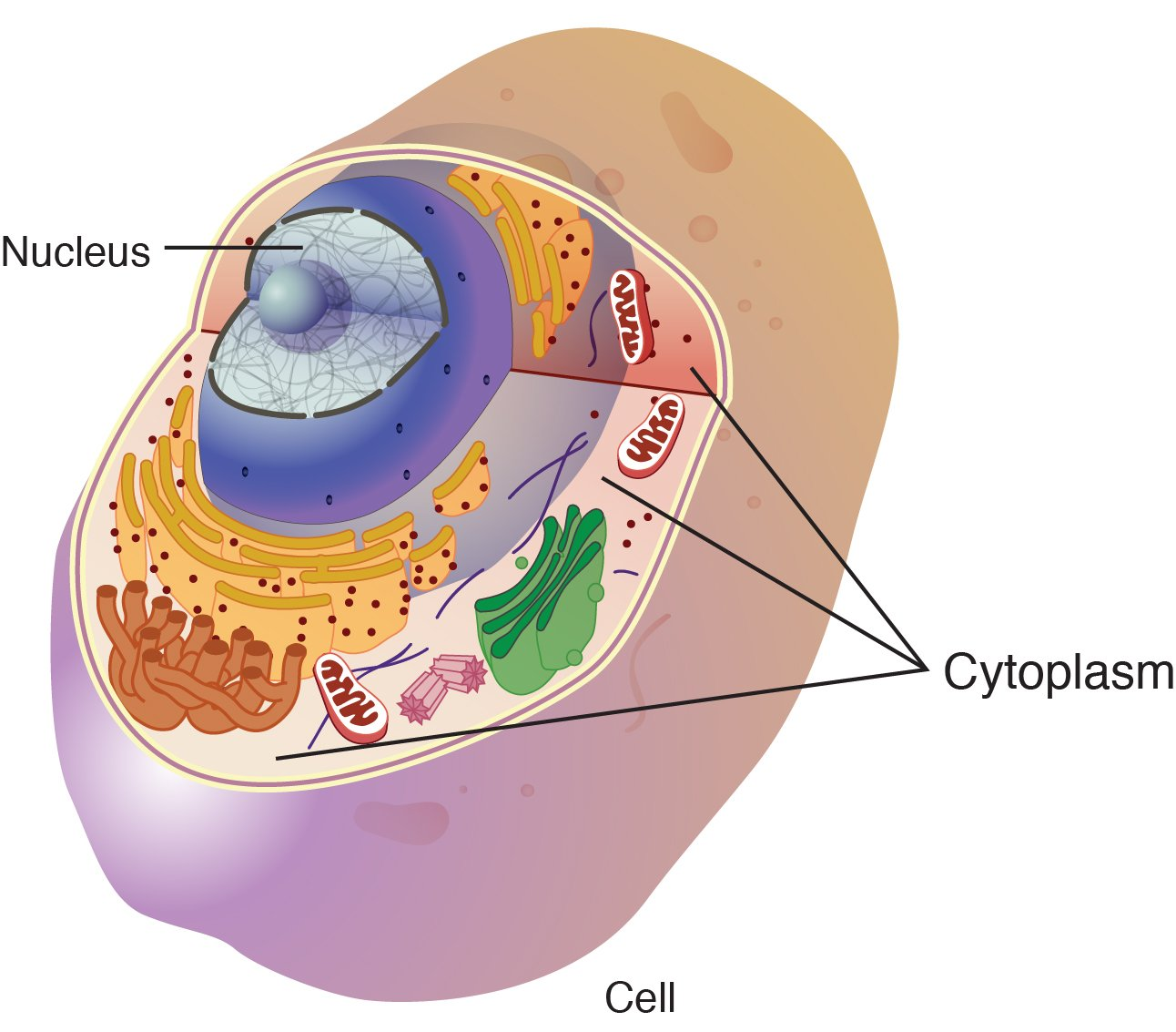 Cytoplasm - National Library of Medicine - PubMed Health