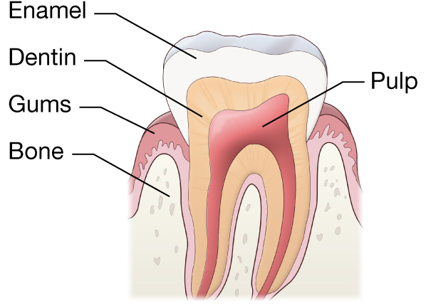 Describe The Parts Of Our Tooth With The Help Of Labeled