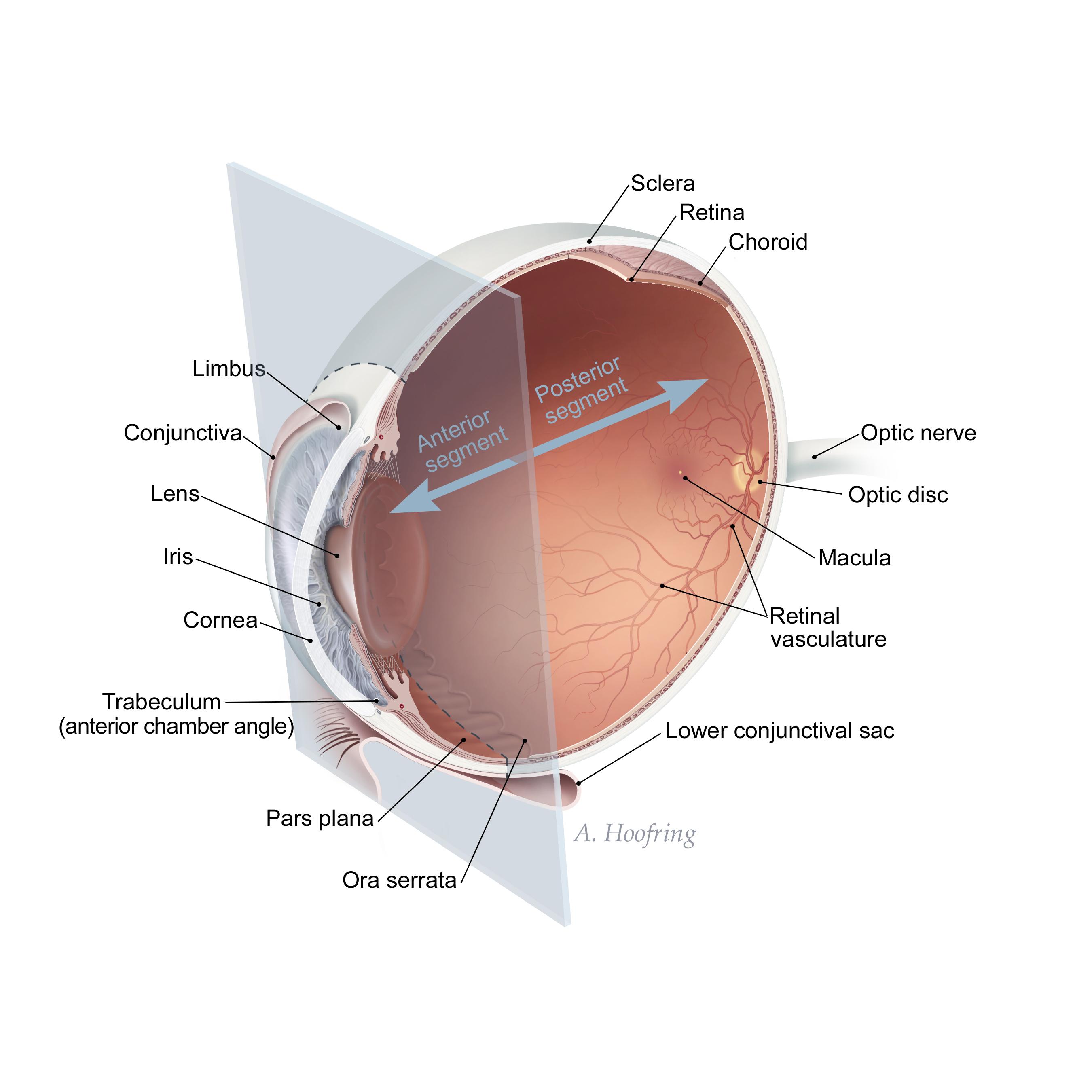 A diagram of the anterior Ora Serrata