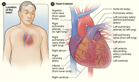 Heart - National Library of Medicine - PubMed Health