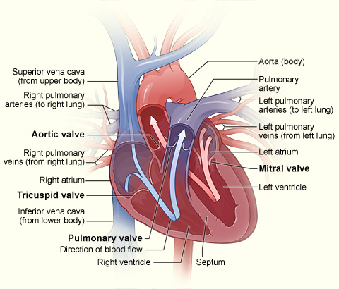 heart valves illustration of a cross section healthy human including the national library medicine health varicose veins disease