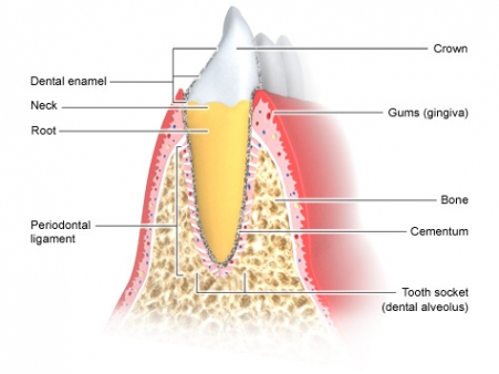 Diagram Of Mouth Alveolar Ridge - Auto Wiring Diagram Today •