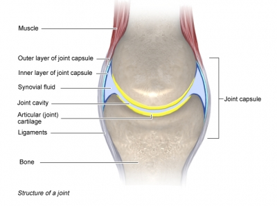 Joints national library of medicine pubmed health structure of a healthy joint drawing shows location of muscle joint capsule synovial ccuart