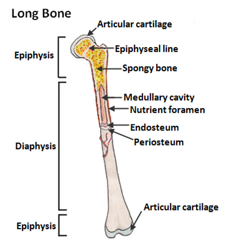 Long Bones National Library Of Medicine Pubmed Health