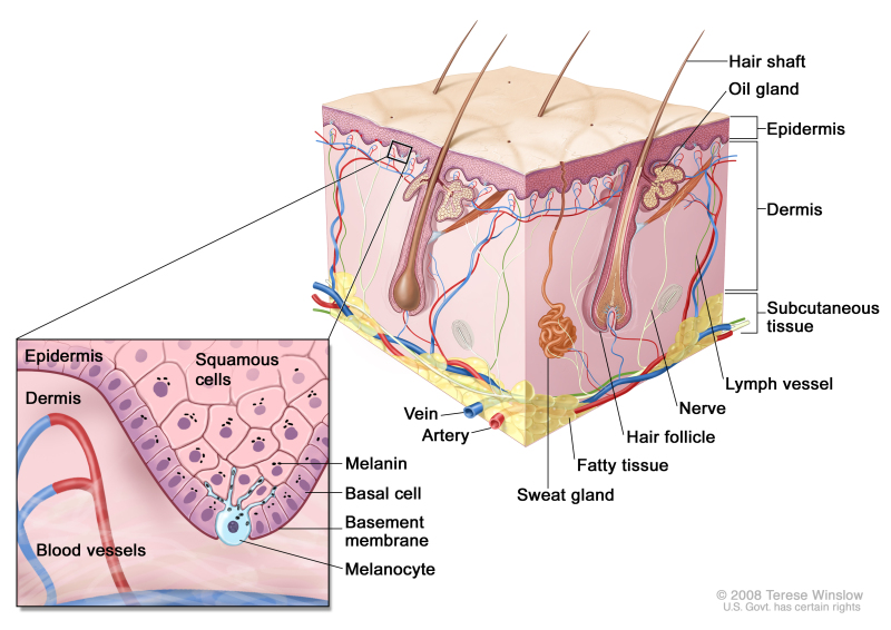 Schematic representation of normal skin; drawing shows normal skinanatomy, including the epidermis, dermis, hair follicles, sweat glands, hair shafts, veins, arteries, fatty tissue, nerves, lymph vessels, oil glands, and subcutaneoustissue. The pullout shows a close-up of the squamous cell and basal cell layers of the epidermis, the basement membrane in between the epidermis and dermis, and the dermis with blood vessels. Melanin is shown in the cells. A melanocyte is shown in the layer of basal cells at the deepest part of the epidermis.