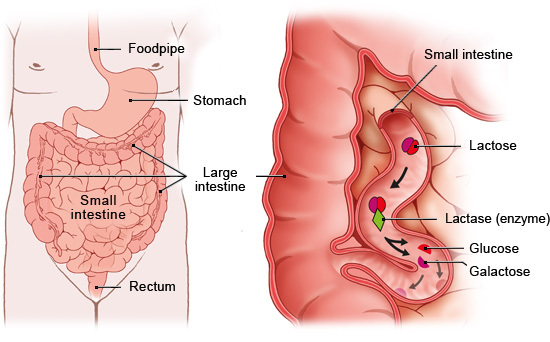 Illustration: Normal lactose digestion