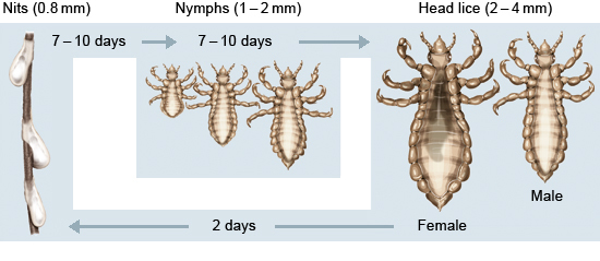 Illustration: Head lice: life and reproductive cycle
